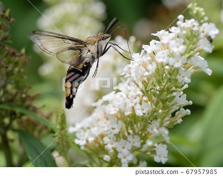 Cephonodes海拉斯 67957985