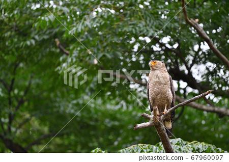 국가 특별 천연 기념물 칸무리와시 Crested serpent eagle 冠鷲 67960097