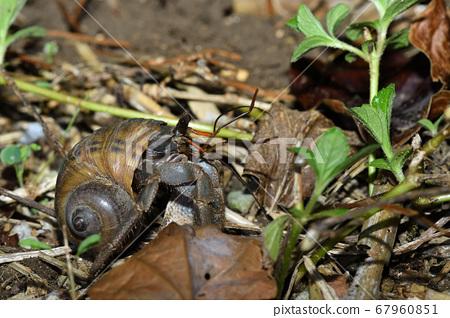 陸生寄居蟹,一種在晚上開始工作的寄居蟹 67960851