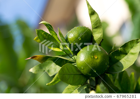 Tangerine trees with unripe fruits and green 67965281