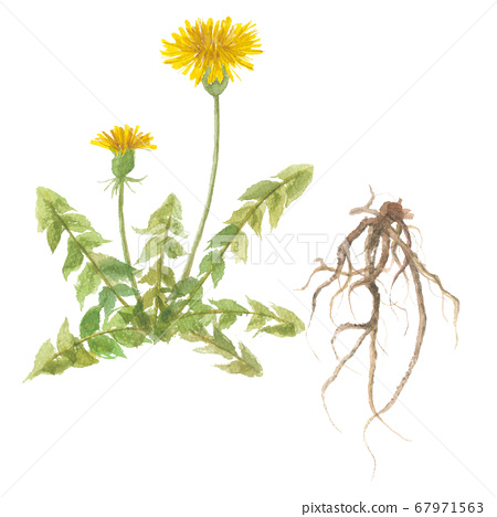 蒲公英的花和根 67971563