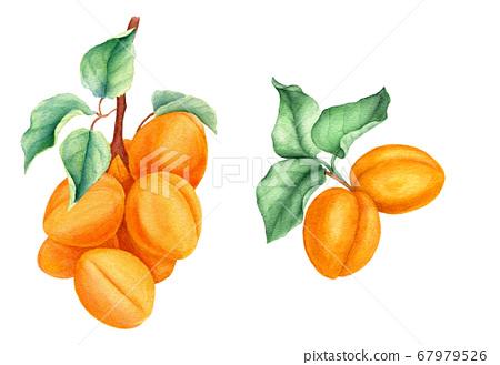 Set of apricot branches vintage watercolor botanical illustration 67979526