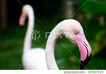 close up beautiful white and pink flamingos or flamingoes birds in the wild. 67987615