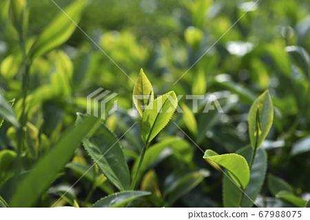 種植園的農作物茶園葉子 67988075