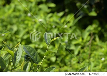 种植园的农作物茶园叶子 67988082