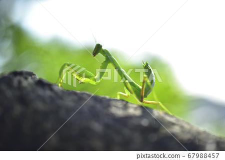 樹幹上爬行的螳螂 67988457