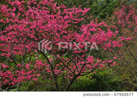 盛開的櫻花,紅色櫻花 67988677