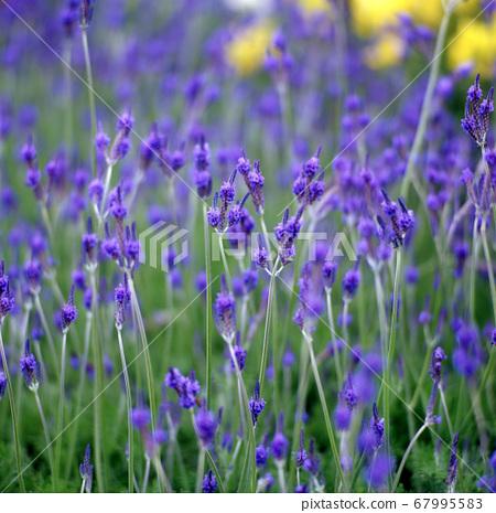 盛開的紫色薰衣草 67995583