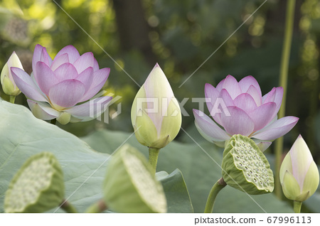 buds and lotus flower in aquatic environment 67996113