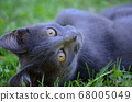 beautiful kittent lying and looking direct to camera on the grass 68005049