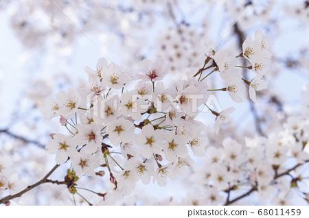 벚꽃,봄꽃 68011459