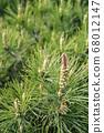 松花,松花,春天的花朵 68012147