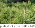 松花,松花,春天的花朵 68012149