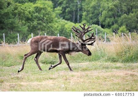Reindeer (Horonobe Town, Hokkaido, Reindeer Ranch) 68017753