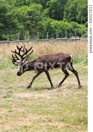 馴鹿(北海道保和部町,馴鹿牧場) 68017811