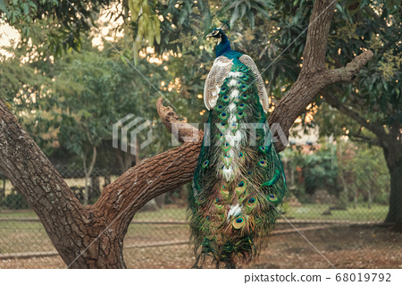 Peacock with long  ornate tail sitting on a tree 68019792