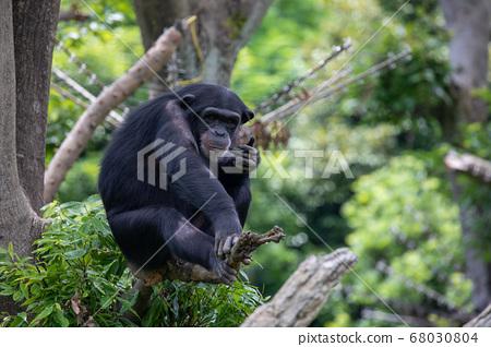 黑猩猩在樹上微笑 68030804