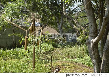 種質園的綠色植物 68031302