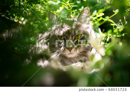 cat resting in plants and bushes 68031728