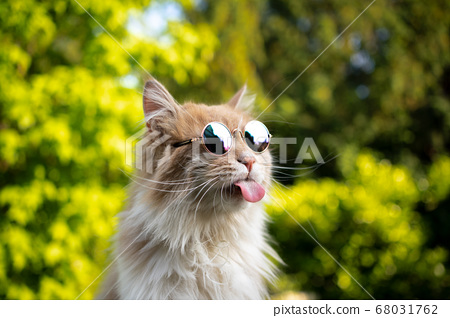 cool naughty cat with sunglasses sticking out tonngue 68031762