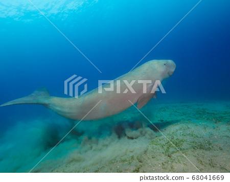 Dugong (sea cow) swimming underwater 68041669