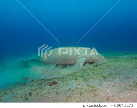 Dugong (sea cow) eating sea grass at sand bottom 68041672