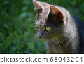 portrait of beautiful kitten, european short hair 68043294