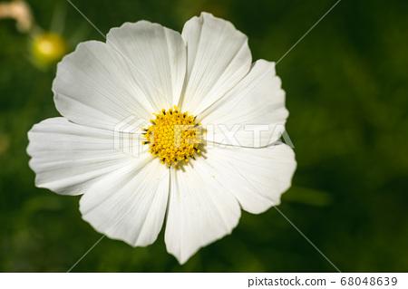 White flower Cosmos bipinnatus, Apollo White 68048639