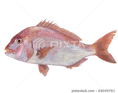鯛魚圖 68049761