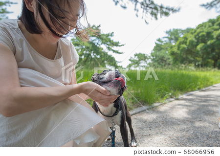 Boston Terrier taking an outdoor walk with her owner 68066956