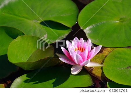 Water lily 68068761