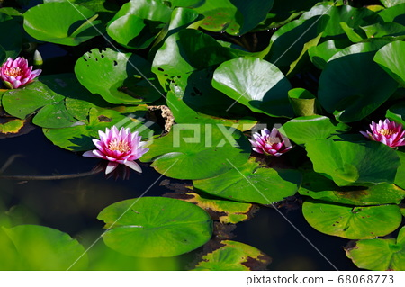 Water lily 68068773