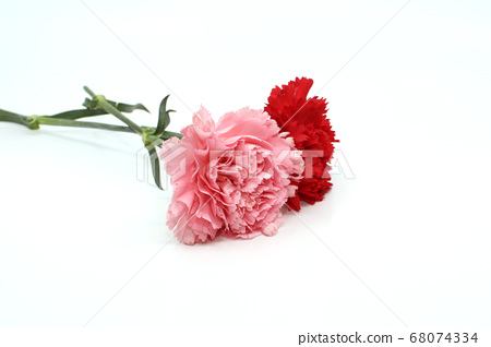분홍색 카네이션과 빨간색 카네이션 68074334