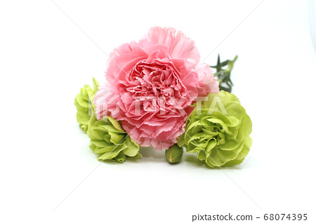 Pink carnation and green carnation 68074395