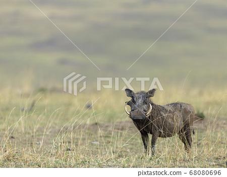 Common warthog, Phacochoerus Kenya, Africanus, 68080696