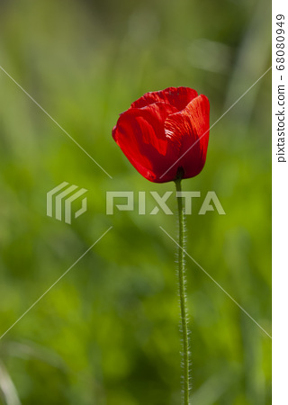 Red poppy on a green background, vertical view 68080949