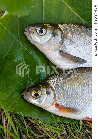 Freshwater common bream and white bream or silver 68084456