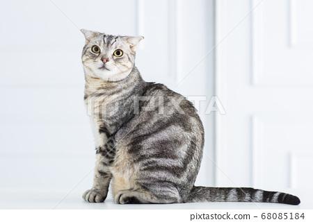 closeup american short hair cat 68085184