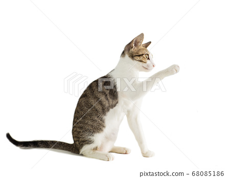 little cat on the isolated background 68085186