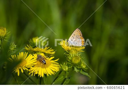 韓國的昆蟲 68085621