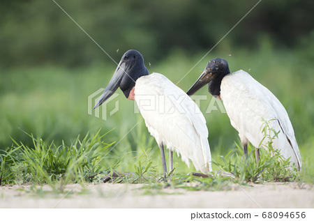 Close up of two Jabiru storks standing on a river bank 68094656