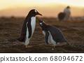 Gentoo penguin chick asking for food at sunset 68094672