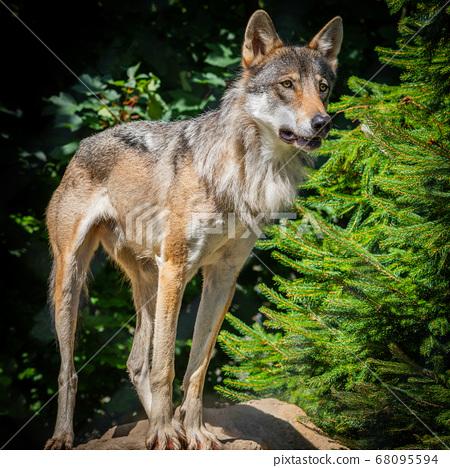 Grey Wolf 68095594