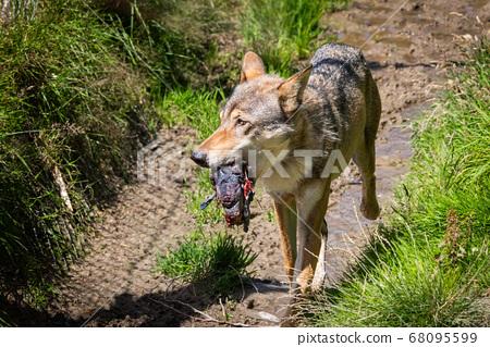 Grey Wolf 68095599