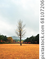 은행나무의 추억 68107206