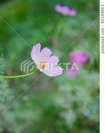 가을 코스모스 꽃 풍경  68109663