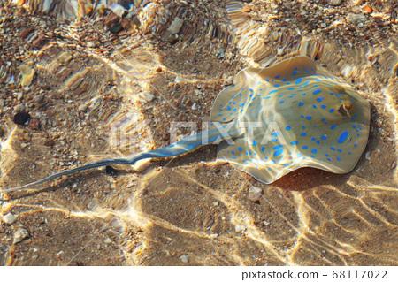 Taeniura lymma fish in the egypt 68117022