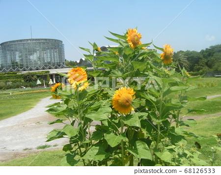 Speaking of summer flowers, yellow sunflower 68126533