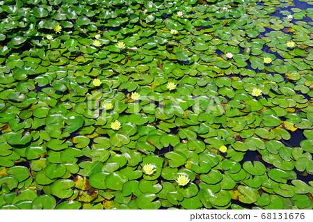 新鮮的綠色荷葉和花朵 68131676