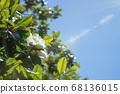Wallpaper, creamy white southern magnolia Magnolia Grandiflora flower. 68136015